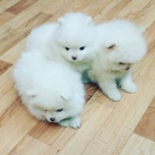 Pretty Pomeranian Puppies for sale.