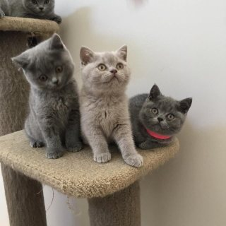 British Shorthair Kittens For Sale.