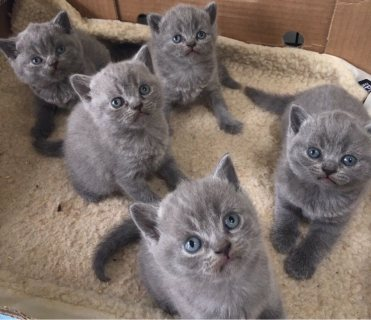 Home Raised British Shorthair Kittens For Sale.