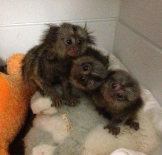 Most Cutest Marmoset Monkeys available