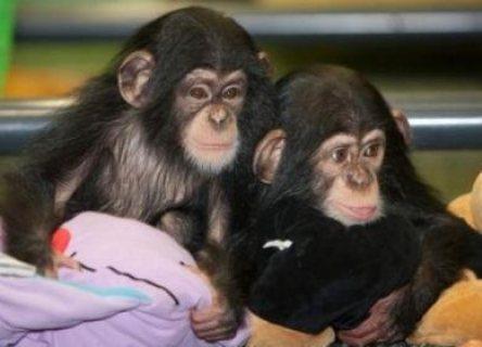 Chimpanzee Monkeys available