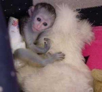 أصح كابوشين بيبي القرد المتاحة ، ثمانية عشر أسابيع من العمر
