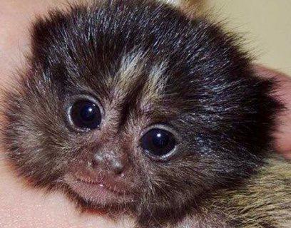 لطيف جميل اثنين إصبع marmoset لاعتماده