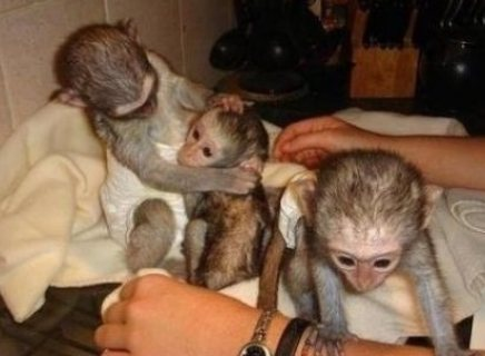 /We have 5 cute and adorable capuchins for sale/.