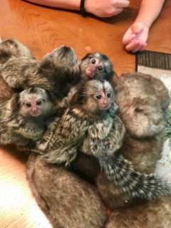 Finger Marmoset Monkeys available