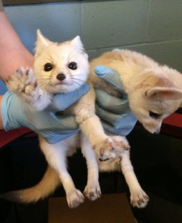 Lovely Male and female fennec fox for sale