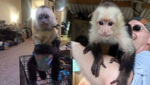 Adorable and well train Capuchin monkeys for sale.