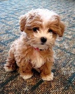 Adorable toy Maltipoo puppies for sale.