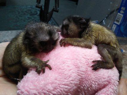 اثنين من القرود Marmoset