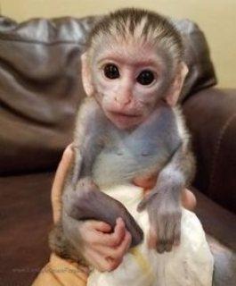 الذكور والإناث المتاحة capuchin monkeys