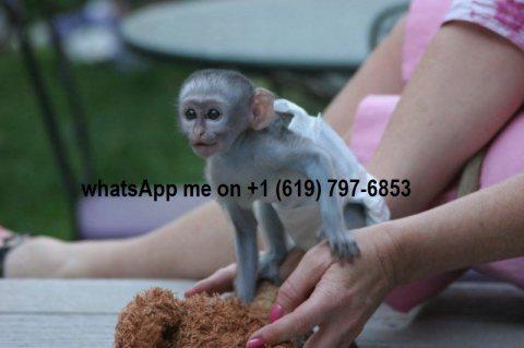 القرود كابوشين الذكور والإناث. capuchin monkeys