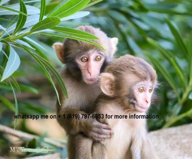 male and female capuchin available