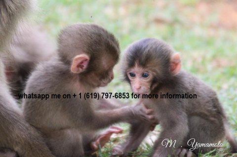 القرود كابوشين الذكور والإناث المتاحة. monkeys, monkeys
