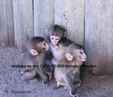 10 weeks capuchin monkeys رائعتين المتاحة ،