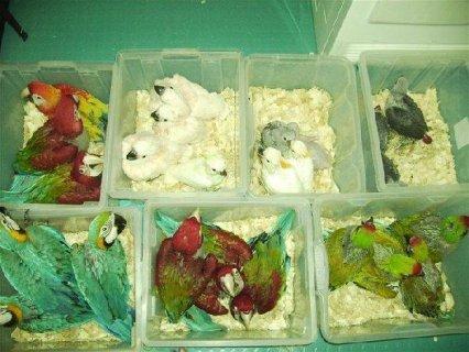 الببغاء والببغاء البيض الطازج للبيع