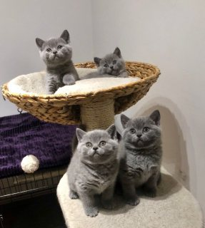 الذكور والإناث القط british shorthair للبيع.