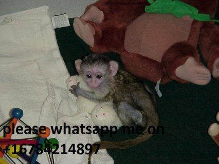 رائعتين القردة كابوتشين المتاحة للبيع. واتس أب + 16784214897