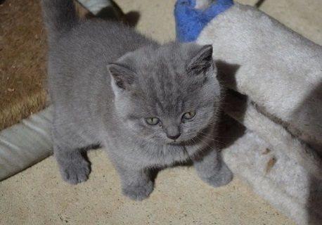 قططة شيرازى