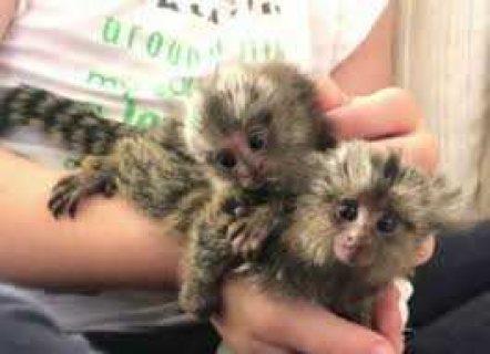 القشة قرد أميركي القرود لإعادة الزاجل