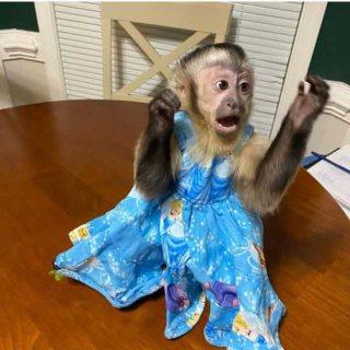 حلو على أطفال أصحاء الكبوشيون القرود