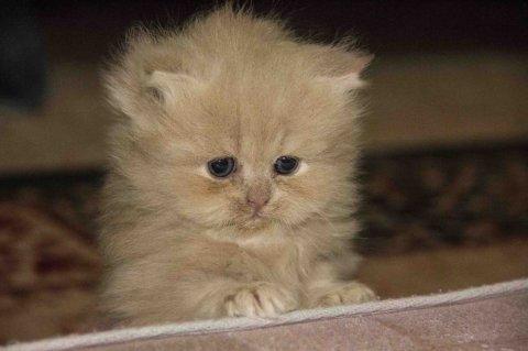 قطط شيرازي بيكن فيس صغيرة للبيع !!
