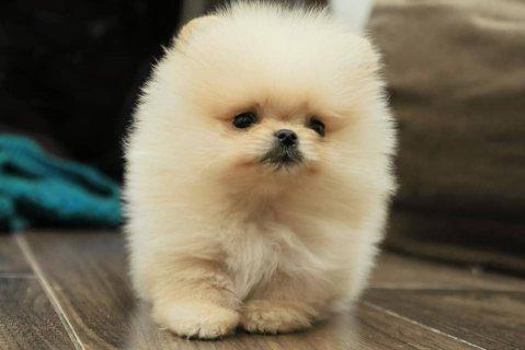 جميل كلب صغير طويل الشعر انثى و ذكر
