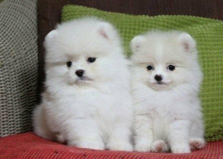 جرو كلب صغير طويل الشعر رائعتين متاح لنفسه. ذكر و أنثى.