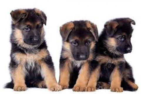 German Shepherd Puppy available for adoption