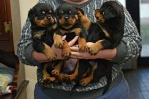 Rottweiler puppies for new homes