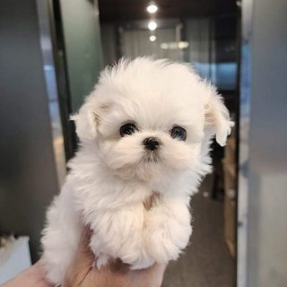 Beautiful little Maltese girl