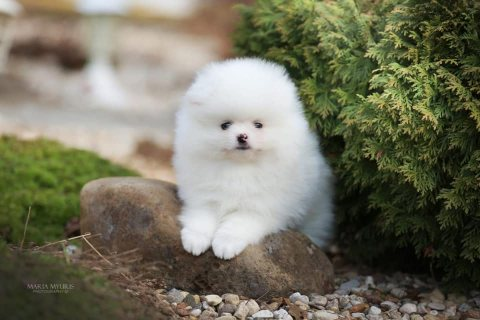 Beautiful Pomeranian Puppies Available
