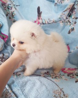 Stunning Sable Pure Bred Pomeranian Pups