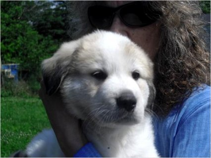 Beatuiful FEMALE GREAT PYRENEES/LEONBERGER­ PUP