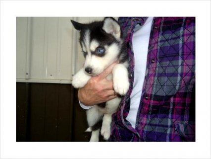 صور Awesome siberian husky puppies ready to go now 1