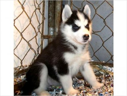 Raised Siberian Husky Puppies Ready