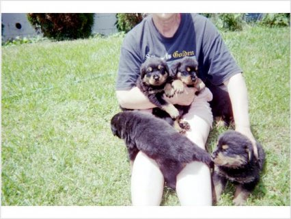 Akc/CKC Champion German Bloodline Rottweiler puppies