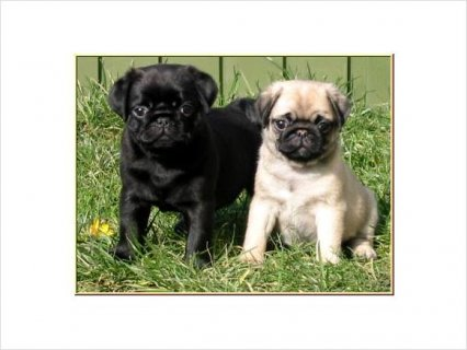 Cute CKC pug puppies available for good home