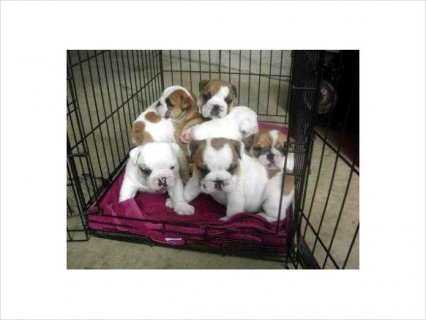 Akc Champion bloodline English Bulldog puppies Ready