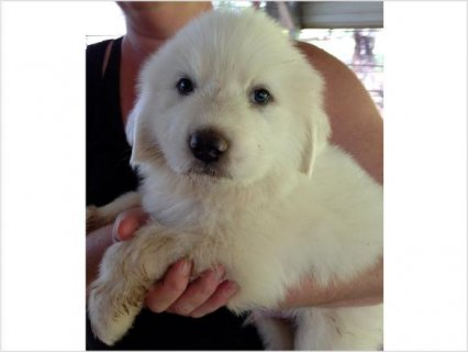 Royall Acres Great Pyrenees Puppy