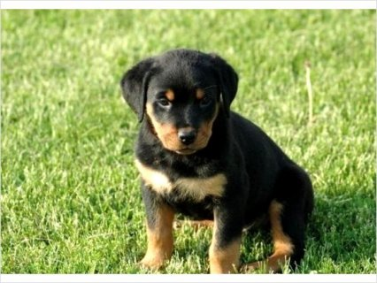 Beautiful AKC Rottweiler Puppies for new homes