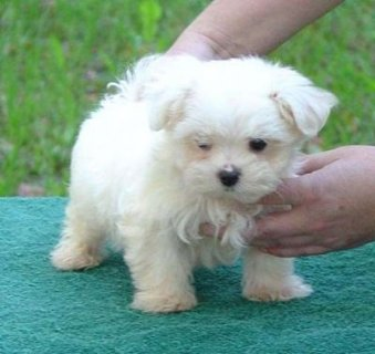 Adorable Teacup Size Maltese Puppies Ready To Go