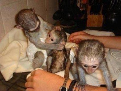 القرود كابوتشين المدربين تدريبا جيدا للبيع.