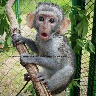 لقرود الكبوشيون من الذكور والإناث لطيفة ورائعة جاهزة للمنازل الجديدة.