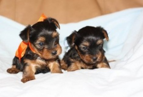 Super Genuine T-Cup Yorkie Pups Available Now