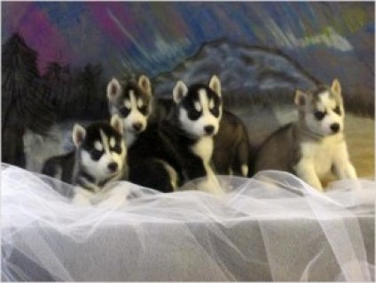 Siberian Husky Puppies - TOP QUALITY!