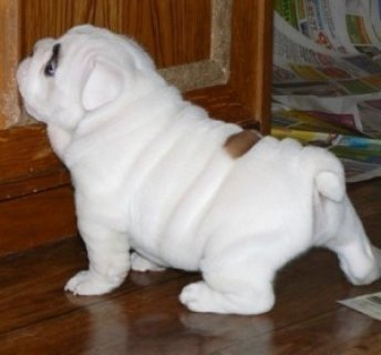 English Bulldog Puppies For Free Adoption
