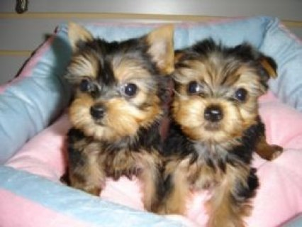 صور Teacup Yorkie Puppies for Sale 1