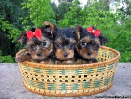 Yorkshire Terrier (Yorkie) Puppies, Great Family Pet
