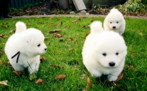 صور Gorgeous Samoyed Puppies for Sale 1