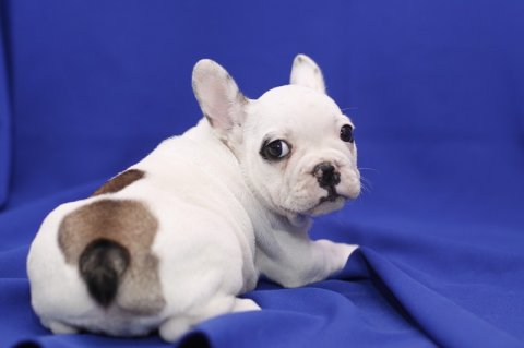 صور Top Quality French Bulldog Puppies Available 2
